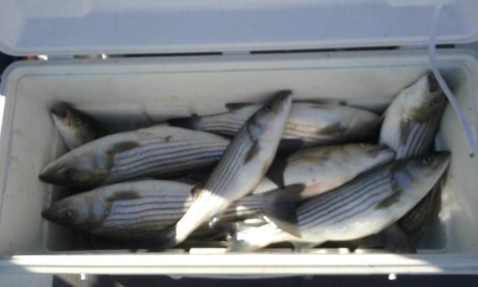 A Cooler Shot Of Chesapeake Bay Striped Bass!