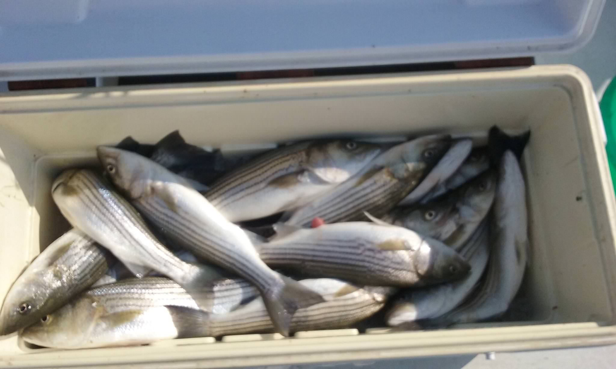 Cooler Full Of Rockfish!