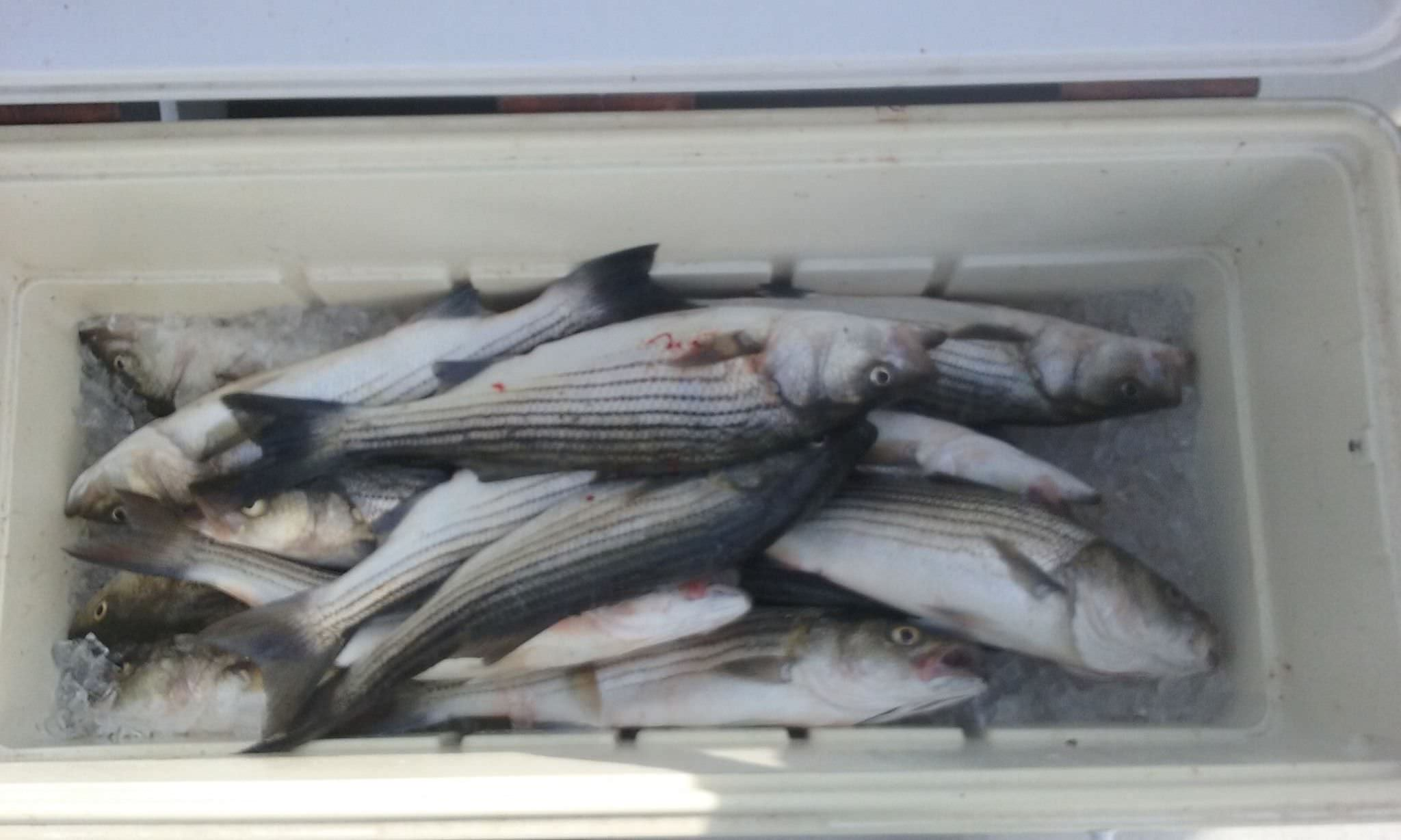 Rockfish Galore On The Chesapeake!