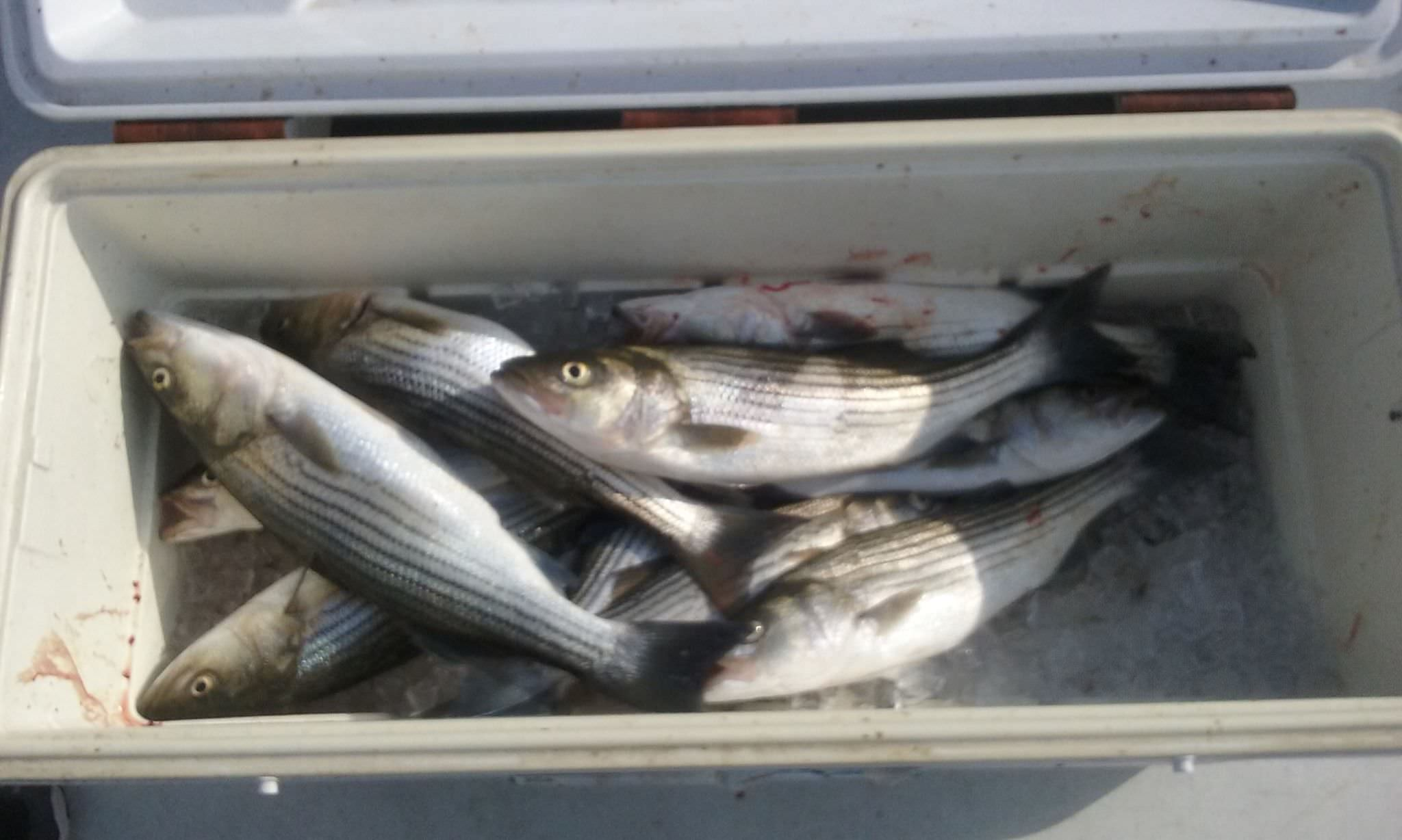 A Full Limit Of Rockfish Caught With Live Bait!