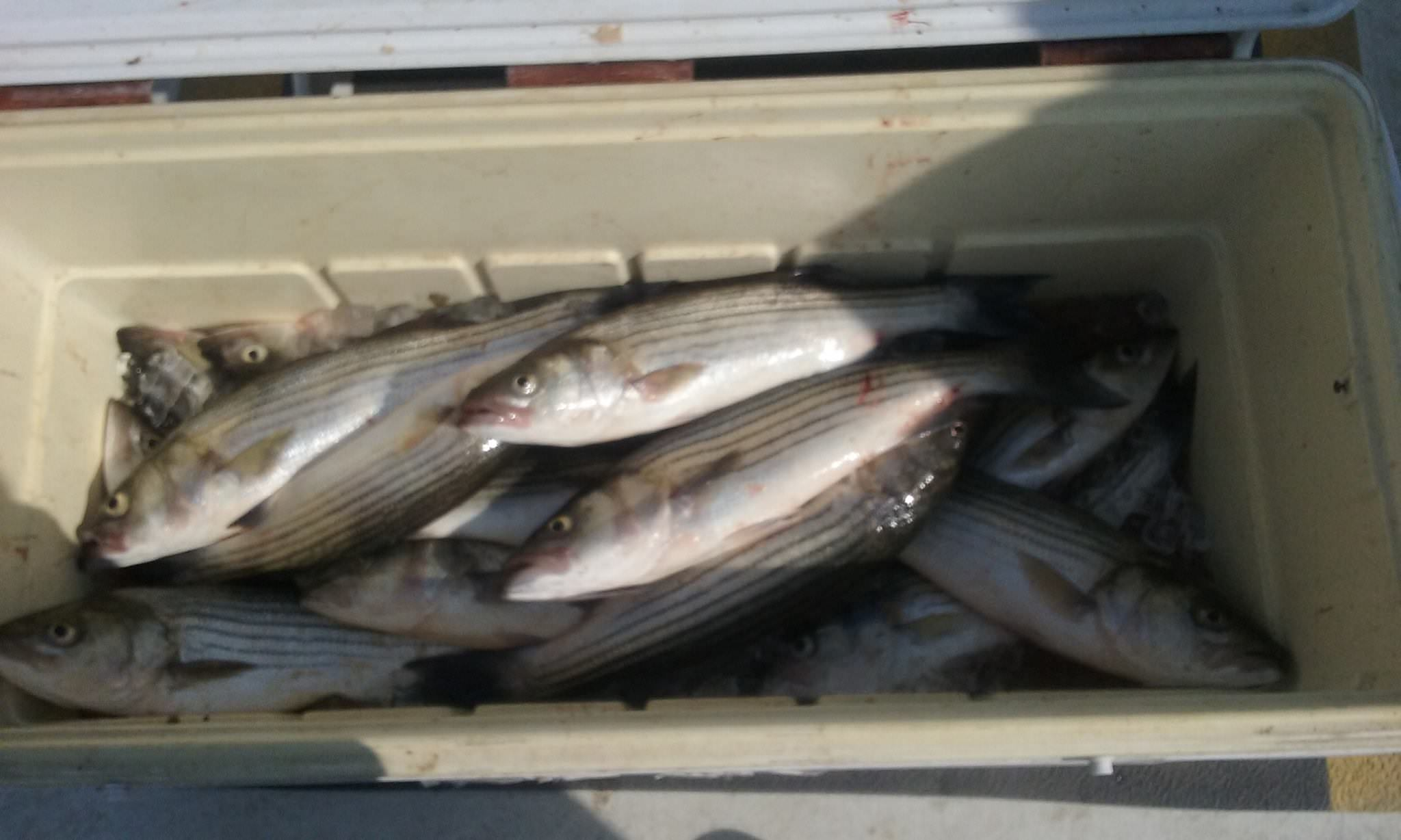 A Cooler Full of Chesapeake Bay Striped Bass!