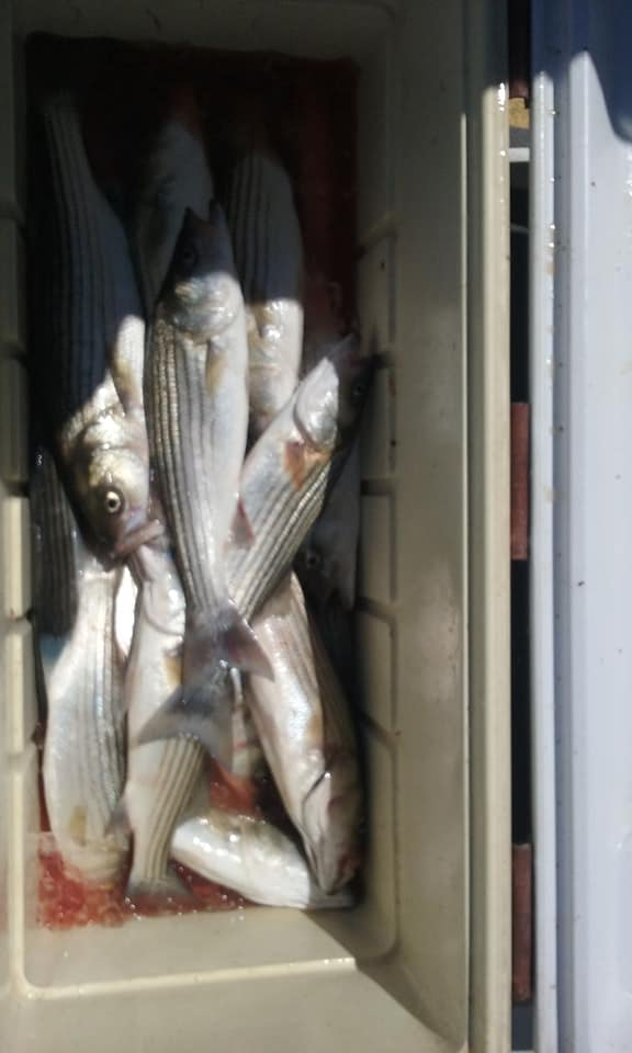 A Limit of Chesapeake Bay Striped Bass!