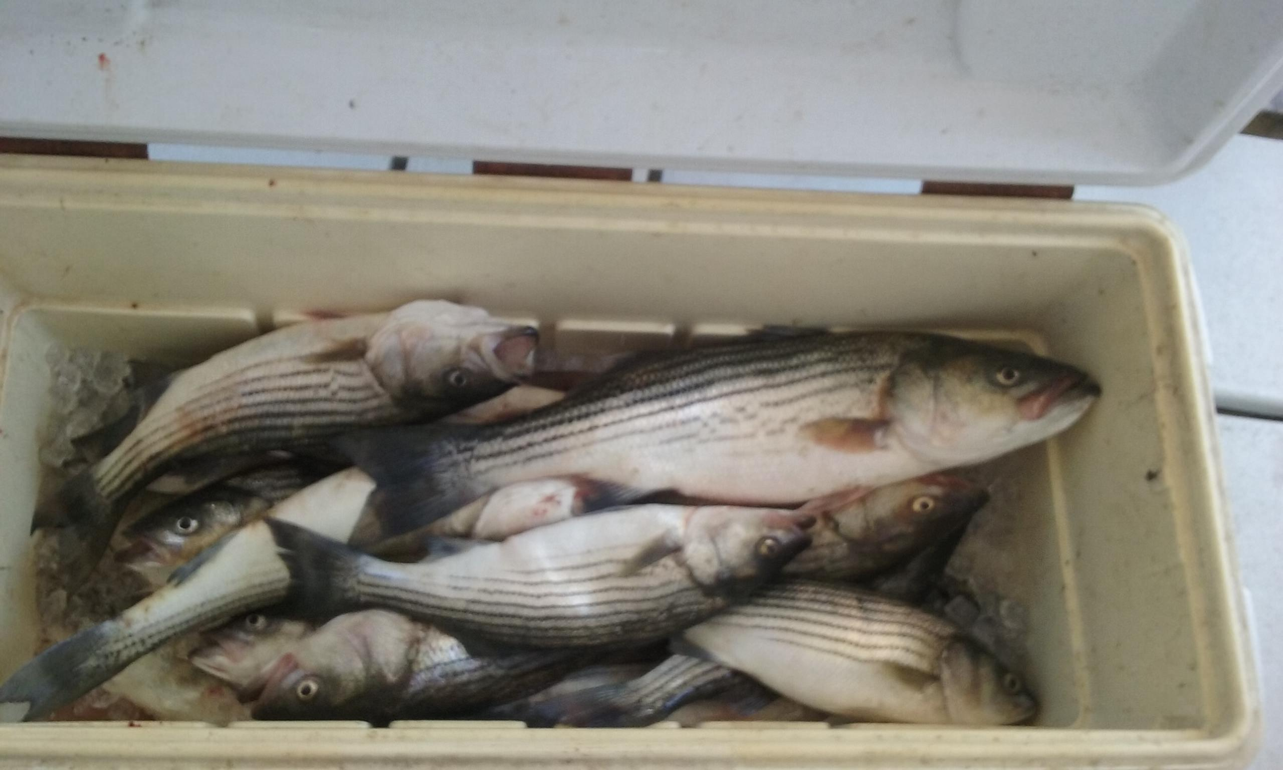 A Cooler Full of Rockfish!