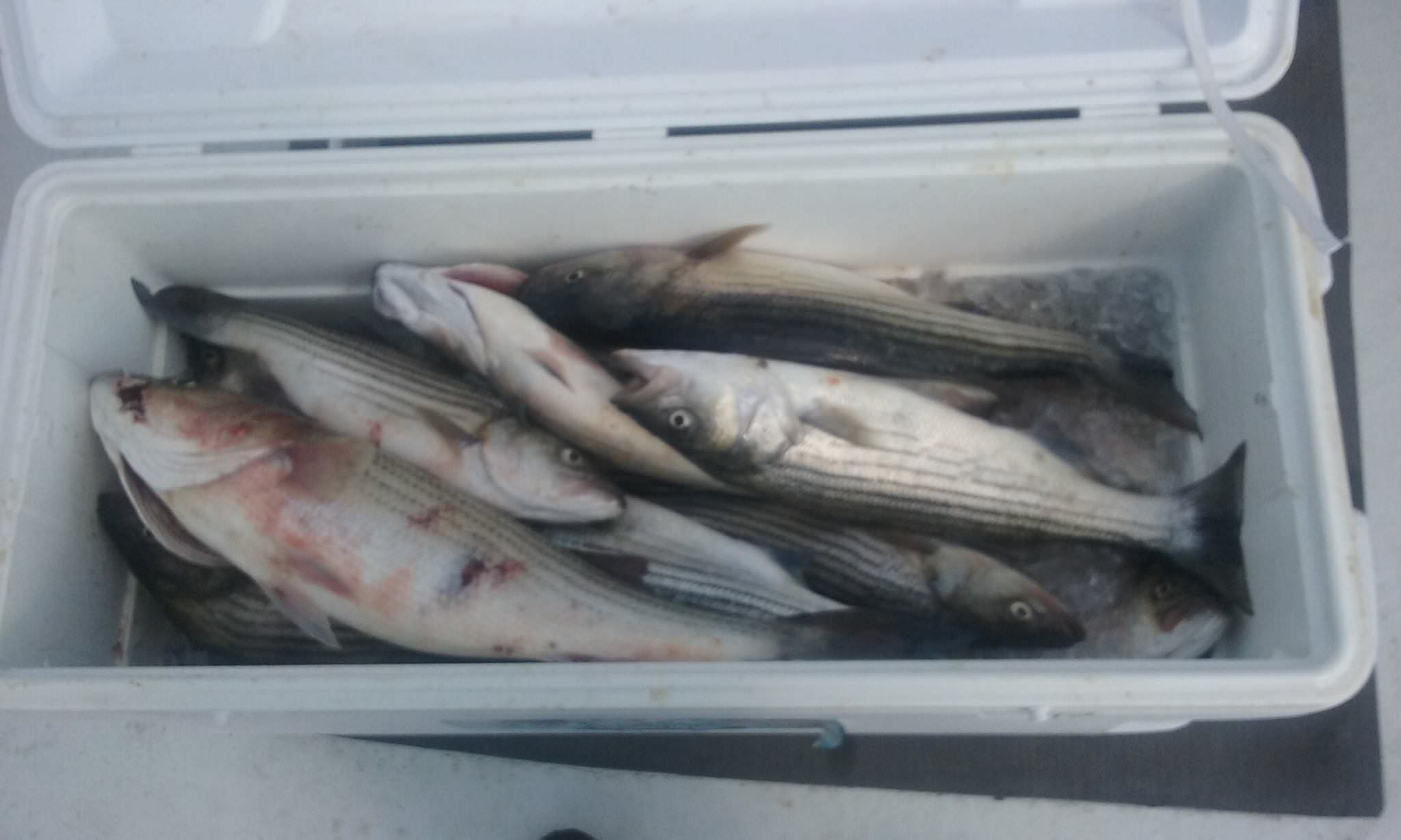 Another Batch Of Chesapeake Bay Rockfish!