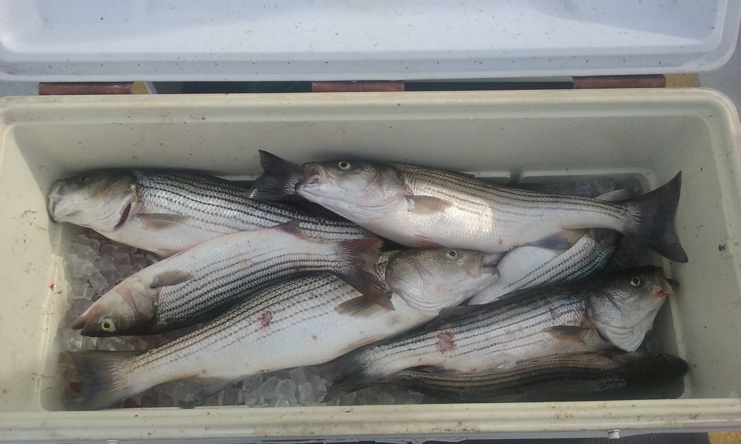 A Limit of Striped Bass for 9 Anglers!