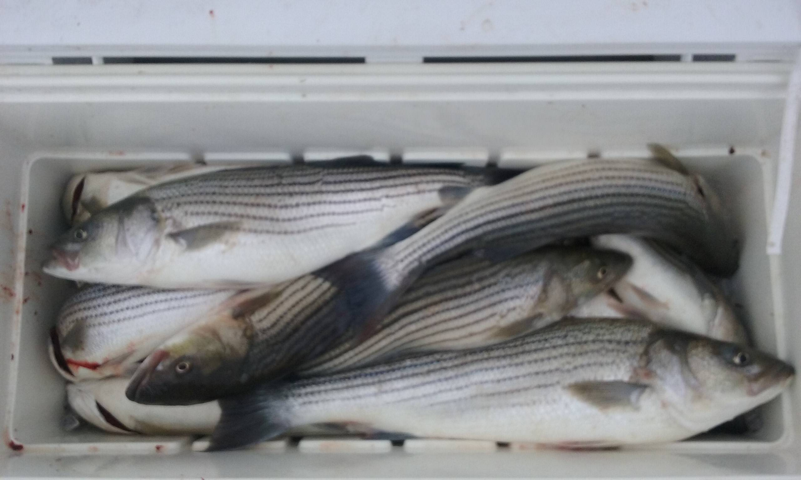 Another Cooler Full Of Chesapeake Bay Rockfish!